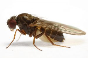 drosophila_subobscura_800